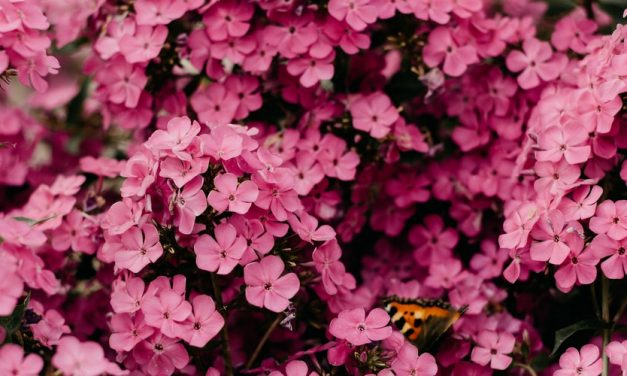 Bunga Akasia yang melambangkan Cinta